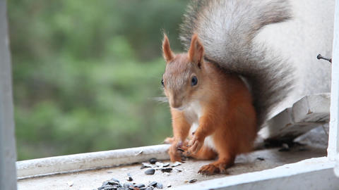 Squirrel eat nuts Stock Video Footage