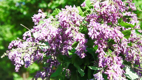 Turning lilac HD Stock Video Footage
