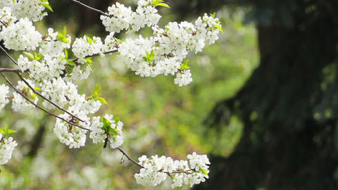 Blossom Stock Video Footage