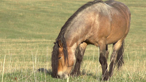 Grazing Horse HD Stock Video Footage