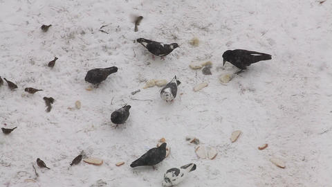 Pigeons, crow and sparrows feeding with bread on the snow Stock Video Footage