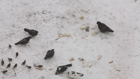 Pigeons, crow and sparrows feeding with bread on the snow Footage