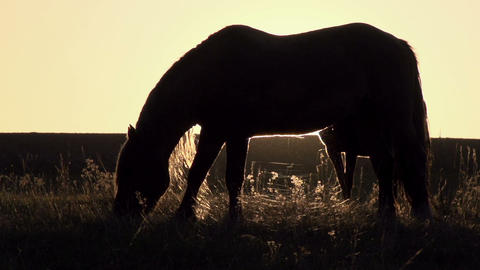 Horses at Sunset Stock Video Footage