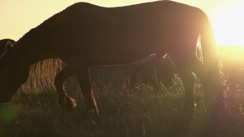 Horses in the Sunlight HD Stock Video Footage