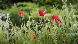 Red poppies in a field Footage