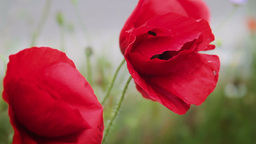 Close up of red poppy flowers Stock Video Footage