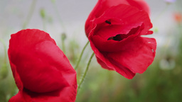 Close up of red poppy flowers Footage
