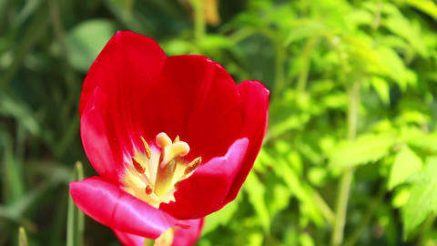 Red Flower 4 Stock Video Footage
