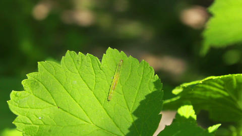 Worm on Leaves 2 Stock Video Footage