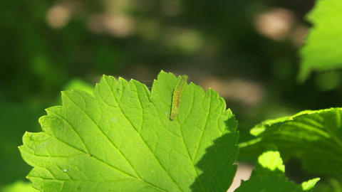 Worm on Leaves 2 Footage