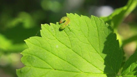 Worm on Leaves 4 Footage