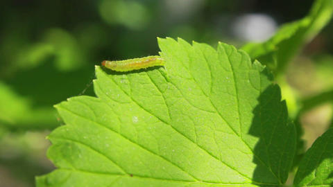 Worm on Leaves 4 Stock Video Footage