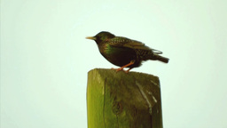 Starling (Sturnus vulgaris) Stock Video Footage
