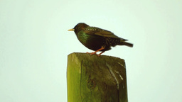 Starling (Sturnus vulgaris) Footage