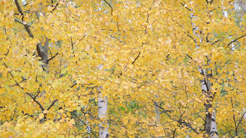 Autumnal Leaves stock footage