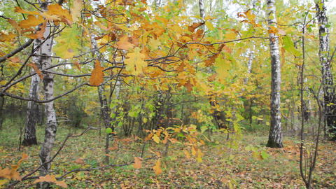 Autumnal forest Stock Video Footage