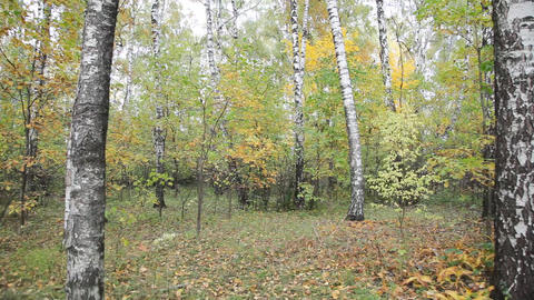 Autumnal forest Footage