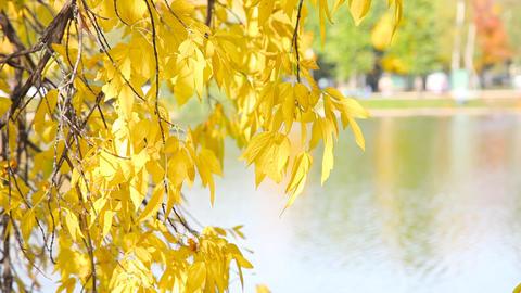 Autumnal leaves Footage