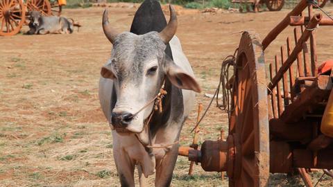 Bulls on the riverbank of Inle lake, Myanmar Stock Video Footage