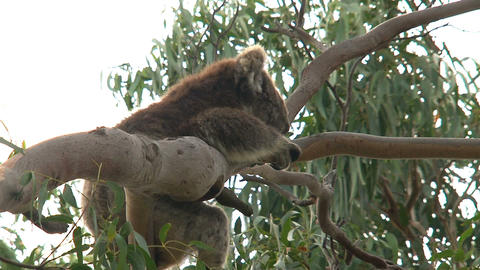 Itchy Koala hanging in a tree Footage