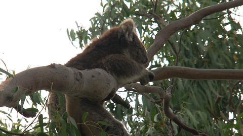 Itchy Koala hanging in a tree Stock Video Footage