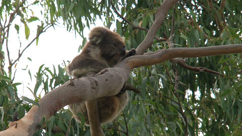 Koala hanging in a tree Stock Video Footage