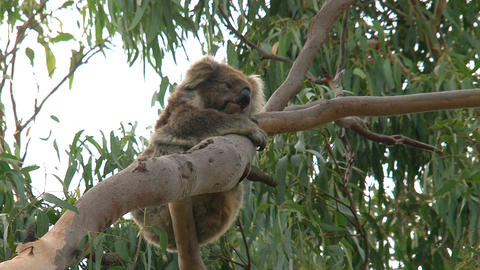 Koala hanging in a tree Footage