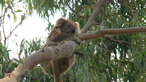 Koala hanging in a tree Stock Video Footage
