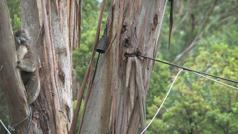 koala 016 Footage