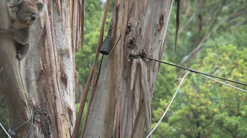 koala 016 Stock Video Footage
