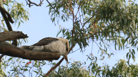kookaburra in a tree Stock Video Footage
