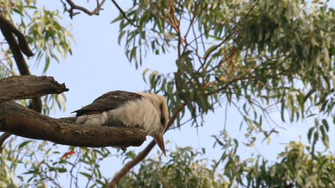 kookaburra in a tree Footage