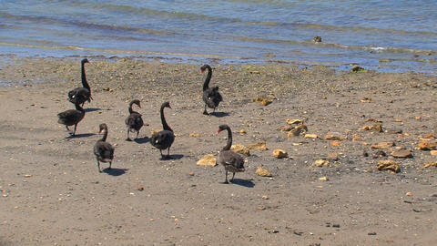 Black swans walking together to the water Stock Video Footage