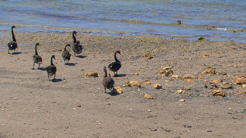 Black swans walking together to the water Footage