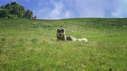 Shepherd dog playing Stock Video Footage