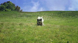 Shepherd Dog Playing stock footage