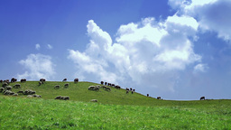 Flock of sheep in a green meadow Stock Video Footage