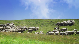 Flock Of Sheep In A Green Meadow stock footage