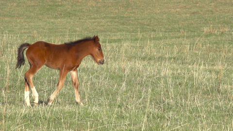 Foal HD stock footage