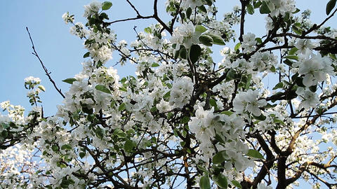Blossom of apple Stock Video Footage
