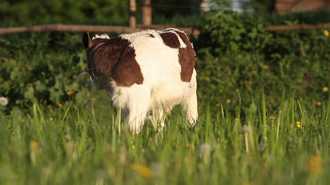 Calf Stock Video Footage