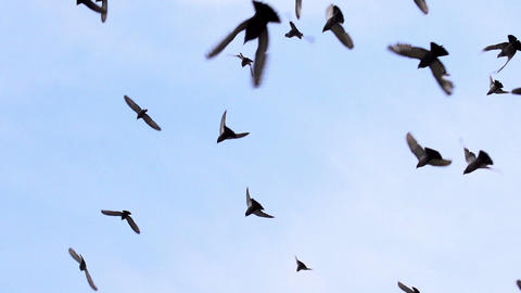 Large Flock Of Birds HD stock footage