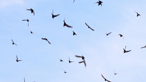 Large Flock of Birds HD Stock Video Footage