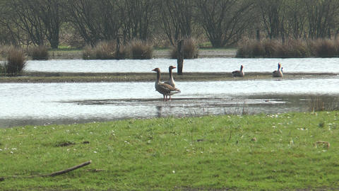 wild geese walking in marshland Stock Video Footage
