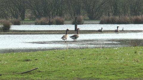 wild geese walking in marshland Footage