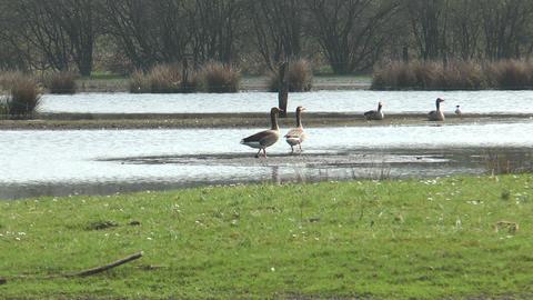 wild geese walking in marshland Stock Video Footage