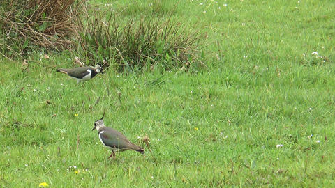 lapwings on a meadow Stock Video Footage