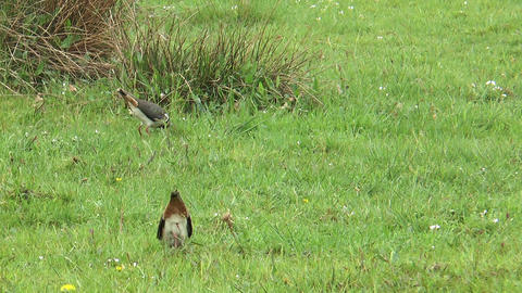 lapwings on a meadow Footage