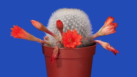 Time-lapse opening orange Rebutia Stock Video Footage
