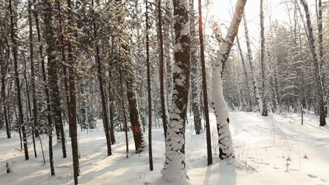 Movement along the birch forest Stock Video Footage